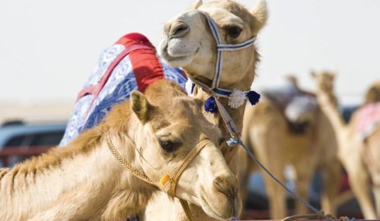 Camel Lids Banner 3